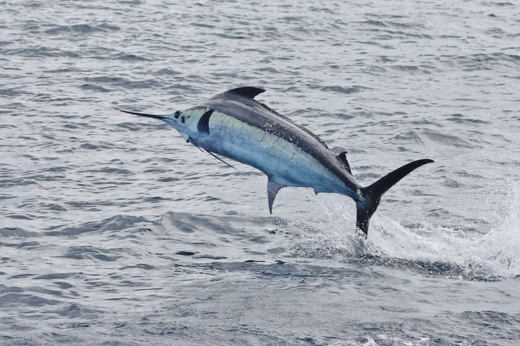 bobby-mcguiness-blue-marlin