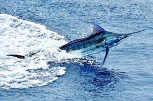 north pacific marlin fishing