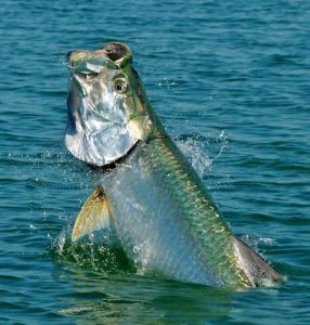 costa rica caribbean tarpon fishing