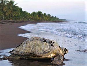 caribbean-toruguero-turtle
