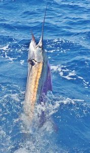 sailfish central pacific billfishery