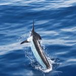 central pacific blue marlin