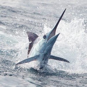 Marlin fishing is great year around, with no real best time to fish