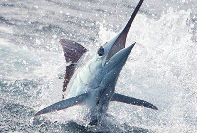 Marlin fishing is great year around