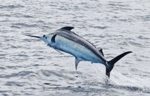 Your chances of a Marlin hook-up are greatly increased if you fish the FADs