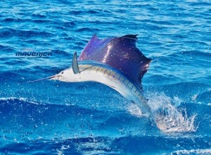 Sailfish a deep sea species