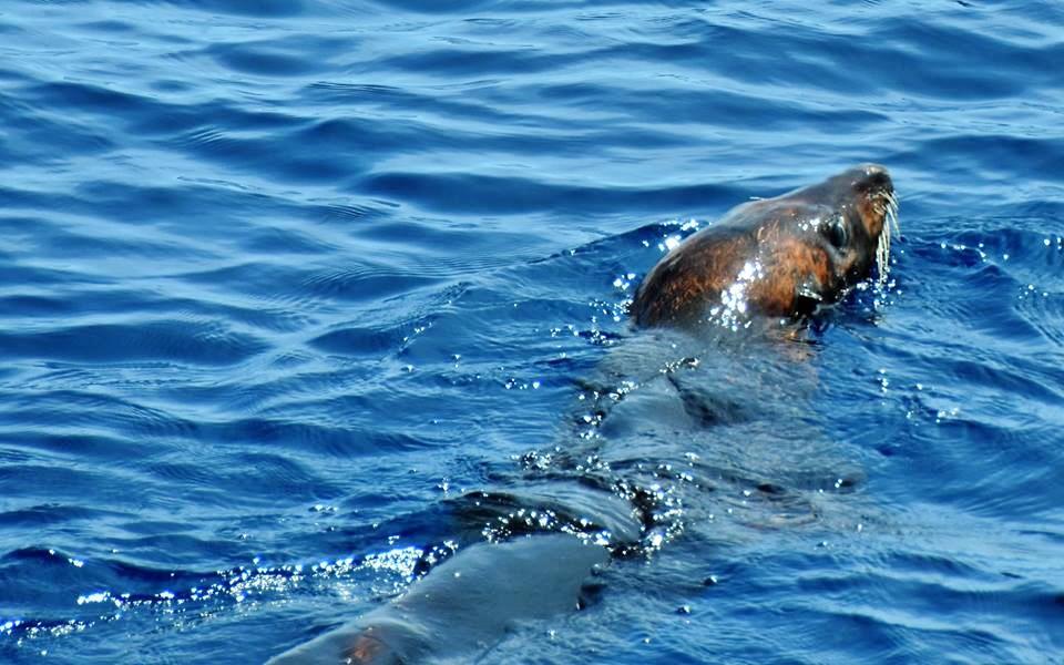first seal in 25 years fishing flamingo area of Costa Rica