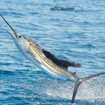 los suenos fishing sailfish