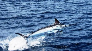 Billfish, including sailfish and marlin are a popular gamefish out of los suenos