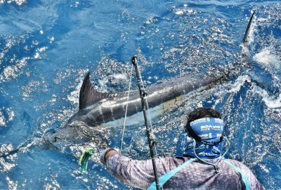 A north pacific blue marlin