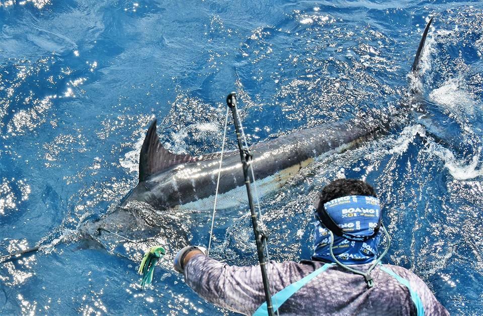 north pacific blue marlin