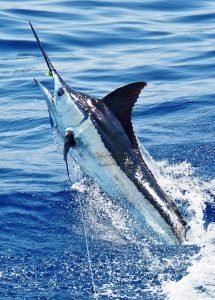 marlin released by flamingo bushwacker