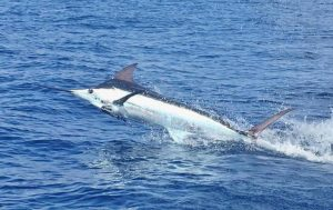 pacific blue marlin fads fishing
