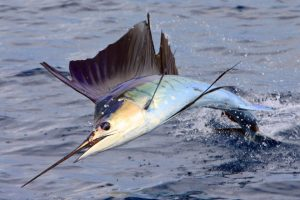 quepos fishing sailfish bite