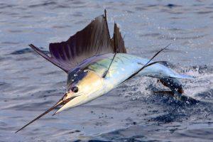 quepos fishing sailfish bite