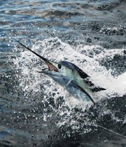 Catch sailfish and fish for Sail Fish while in Costa Rica.