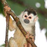 squirrel monkey costa rica